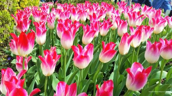 Tulips at Skagit Valley Tulip Fields