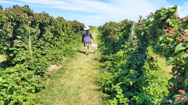 Strolling in Berries and Lavender Fields. Organically grown Blue and black Berries, LoganBerries and boysenberries