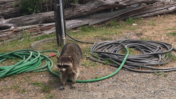 Raccoon Sighting at Tillicum Excursion