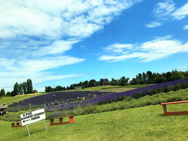 U Pick Lavender and Berries at Sequim Lavender Farm, Washington
