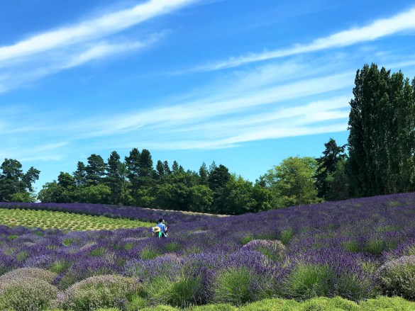 Sequim Lavender Fields, Washington USA. Sequim Lavender festival 2019