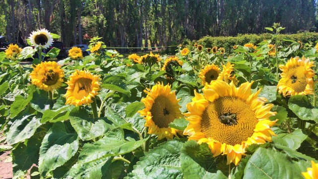 Big blossomed Sunflowers in Sequim Farms Washington