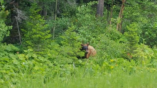 Grizzly Bear in fields