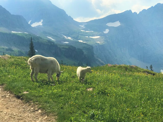 Mamma and Baby Mountain Goats at Hidden Lake Lookout at Logan Pass