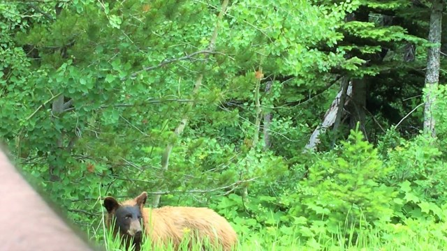 Brown Grizzly Bear at Glacier National Park