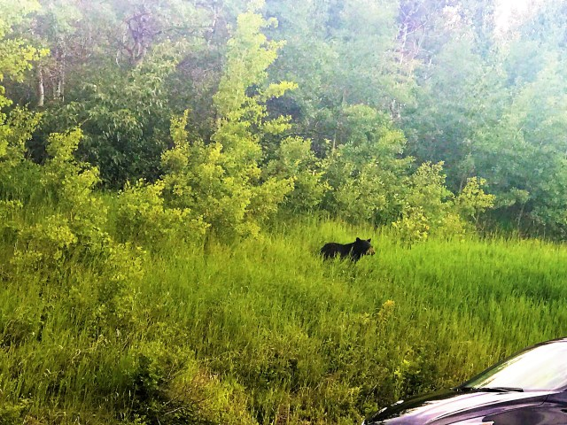 Black Bear Next to the road