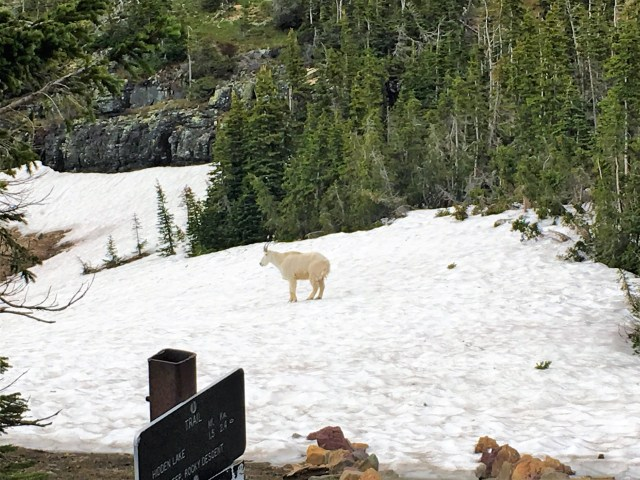 Mountain goat on snow field next to Hidden Lake Lookout