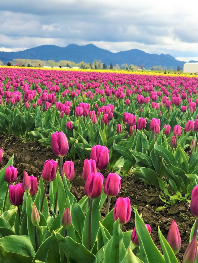 Lovely Pink Tulips bloomed in Skagit Valley Fields Must Visit Places in Seattle Washington