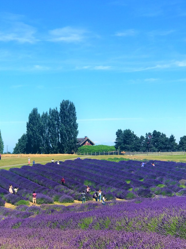 Aromatic Lavender Fields at Sequim Washington
