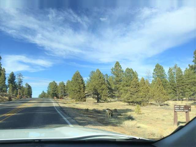 Deers spotted on side of the roads in Bryce Canyon. Things To Do In Bryce Canyon National Park