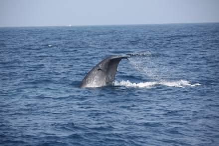 baleine-whale-mirissa