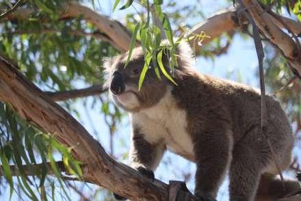 Koala Raymond island VIC Australie