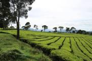 Hamparan Kebun Teh di Bandung Selatan