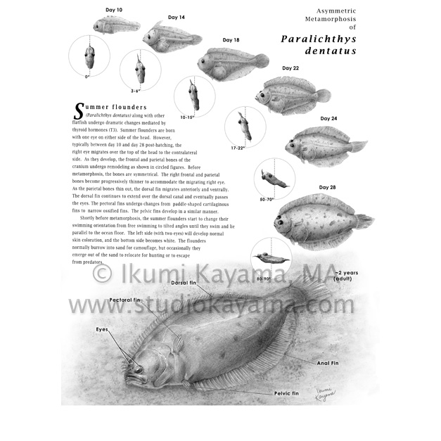 Life cycle of a flounder. © Kayama Studio