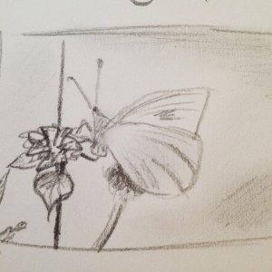 The pretty and quick sketch by Carrie, from one of the Butterfly photos taken by her father. © Carrie Sanderson Art