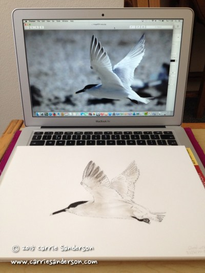 The sketch of the Sandwich tern, from a photo taken by Carrie's father. ©Carrie Sanderson Art