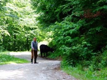 Un uncheș cu vaca la păscut