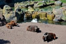 Turma de ierbivore. În apropiere dormitau câţiva porci ...