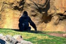 Gorila. Ne-am privit preţ de câteva minute, nemişcaţi. Ulterior am citit că animalul percepe acest gest ca o ameninţare.