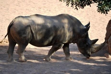 Rinocerul e stăpânul absolut al ţarcului. Alţi doi dormeau ceva mai încolo.