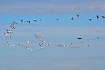Stolul de pelicani
