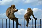 Maimuțe de Gibraltar