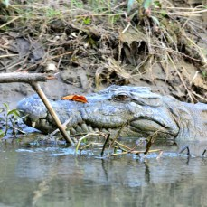 Chitwan - la 5 metri de crocodil