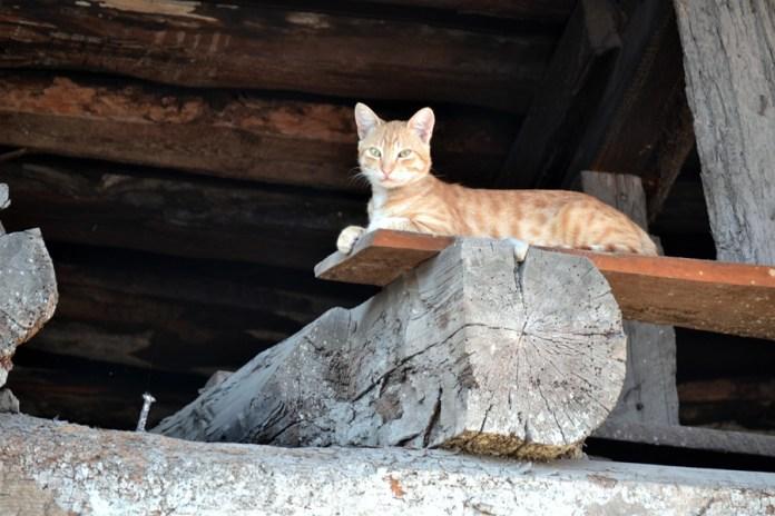 Pisica georgiană