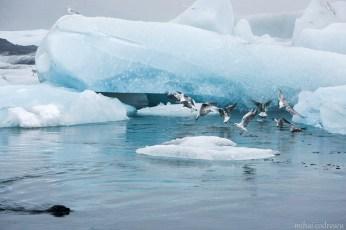 Lupii de mare