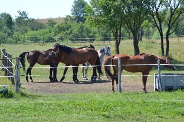 Pe domeniile Szabo, caii se simt ca la ei acasă