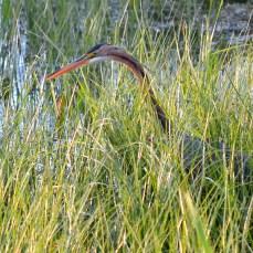 Stârcul roșu în lunca de la Hazarlâc