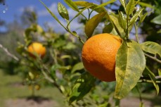 Producția de mandarine