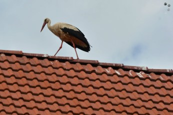 O barză pe acoperiș