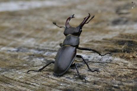 Rădașcă (Lucanus cervus)