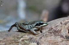 Broasca mică verde (Pelophylax lessonae)