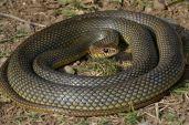 Șarpele rău (Dolichophis caspius), cea mai rapidă reptilă din România