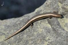 Ablepharus kitaibelii - Șopârlița de frunzar