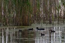 Biodiversitate în Delta Neajlovului