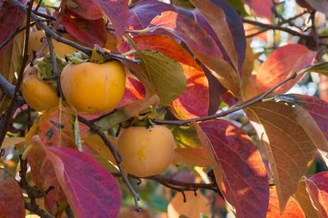 Fructul de kaki