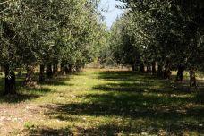 Plantații de măslini