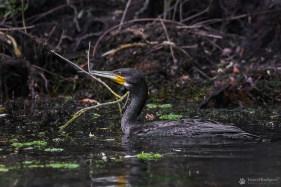 Cormoran (Phalacrocorax)