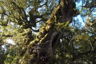A tree that's older than you and me combined multiply by several times more