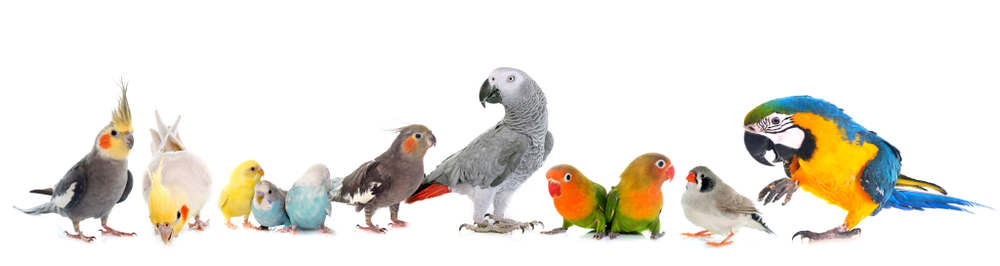 oiseaux perroquet compagnie elevage