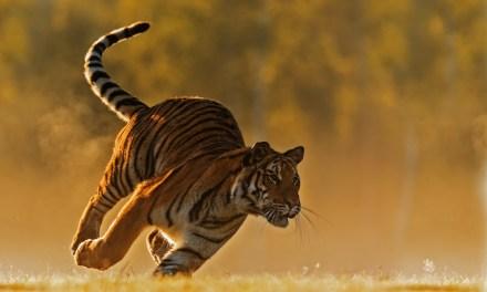 Découvrez Le Baume du tigre