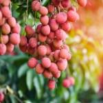 Tout savoir sur le litchi, le fruit et l'arbre
