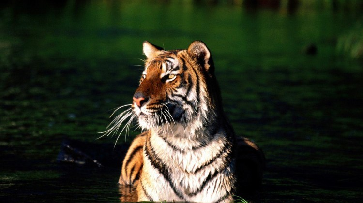 bengal-tiger-safaris-india