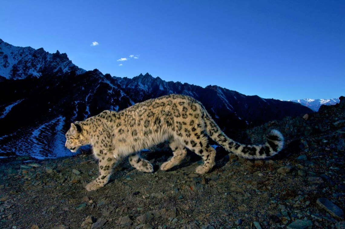 Snow Leopard in Hemis