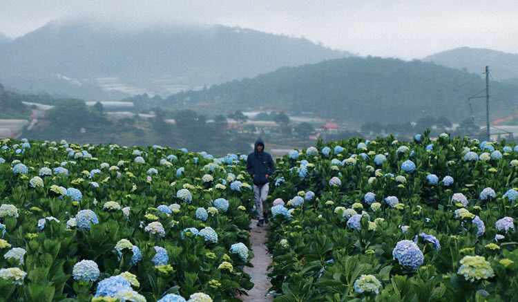 Rhythm of Journey - Da Lat - Garden Hydrangeas