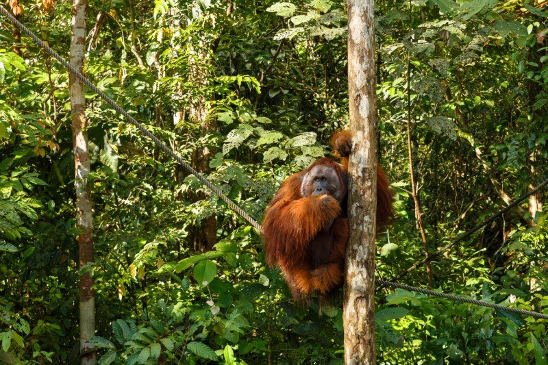 orangutan sitting in a tree Semenggoh-Wildlife-Centre