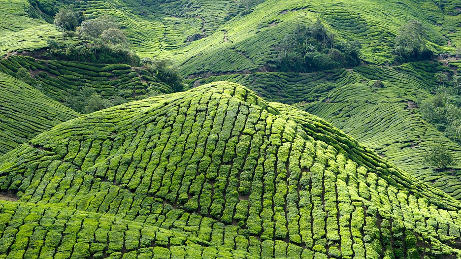Cameron-Highlands-44004